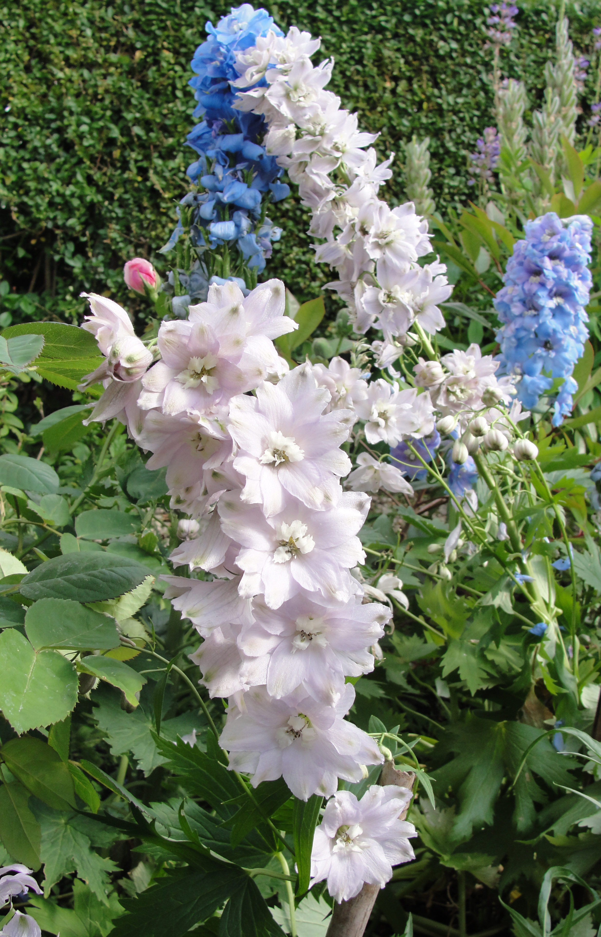 Blue and dusky pink Delphiniums